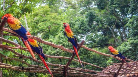 Papageien in Copan
