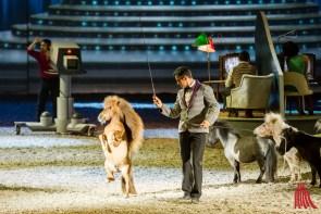 Bartolo Messinas Freiheitsdressur der Minishettys mit Charly, dem kleinsten Show-Hengst der Welt (Foto: cf)