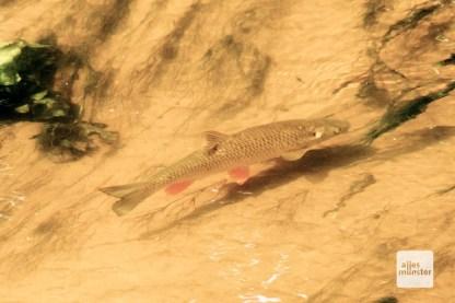 Die Bever ist ein fischreiches Gewässer.
