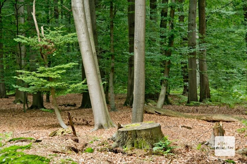 Die Davert bietet, anders als die Hohe Ward, überwiegend Laubwald. (Foto: Michael Bührke)