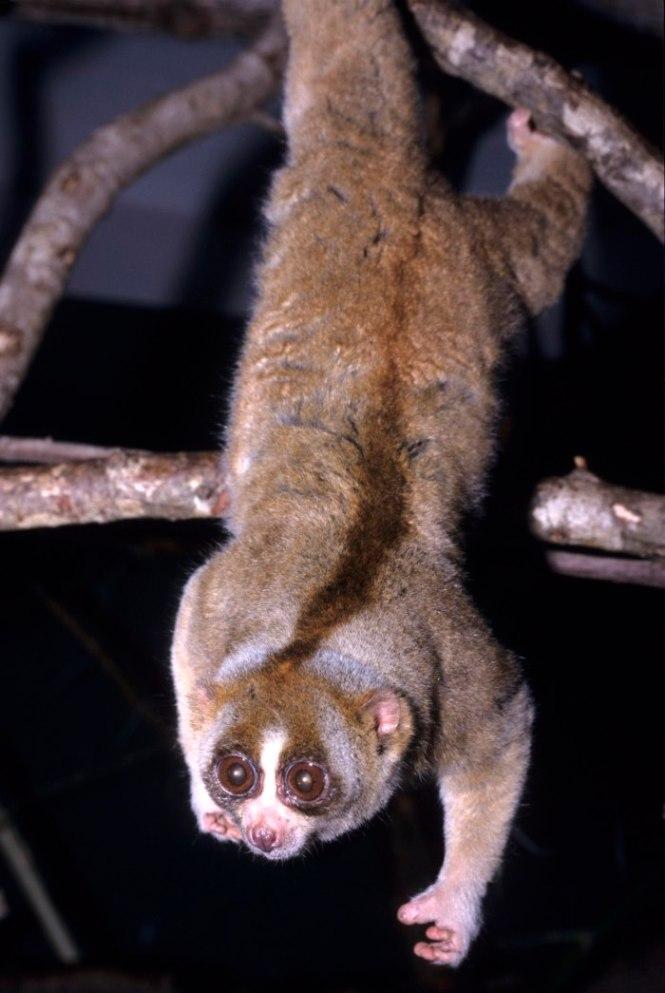 Plompe Lori - TOP 10 Animals With Bizarre Big Eyes