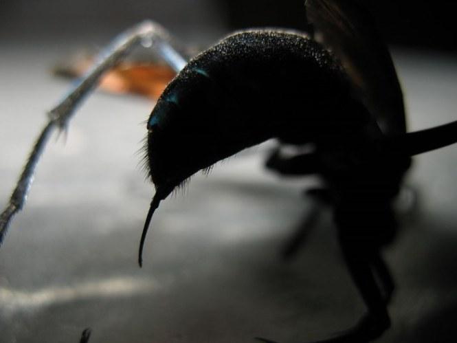 Tarantula Hawk - TOP 10 MOST PAINFUL INSECT BITES