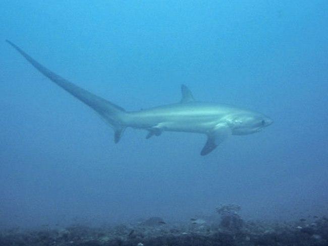 Voshaaien - TOP 10 STRANGE AND WEIRD LOOKING SHARKS