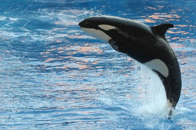 orka - TOP 10 ANIMALS WITH THE LONGEST PREGNANT BEARING TIME