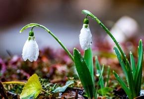 подснежники, белые, капли, влага, крупный план, свежесть, весна