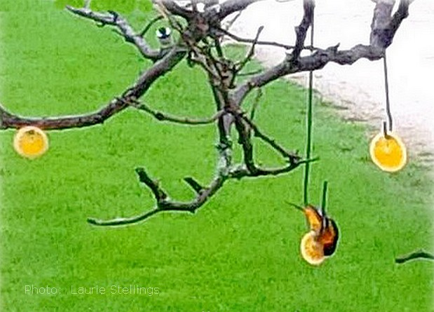 Homemade Oriole Food Nectar Attracting Orioles