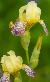 yellow iris flowers