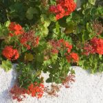 red geraniums in late summer