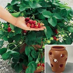 strawberry jar planted with fruit bearing strawberries