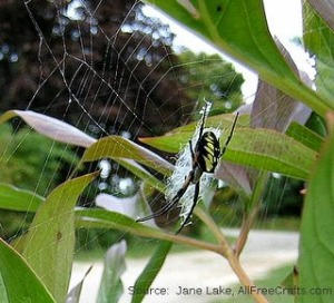 garden spider with web on peony