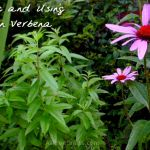 lemon verbena growing next to purple coneflower