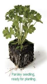 parsley (8K)
