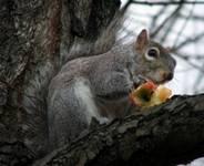 squirreleatsapple (6K)