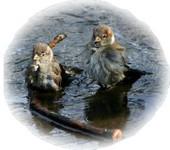 bathing birds