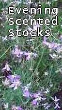 evening-scented-stock (11K)