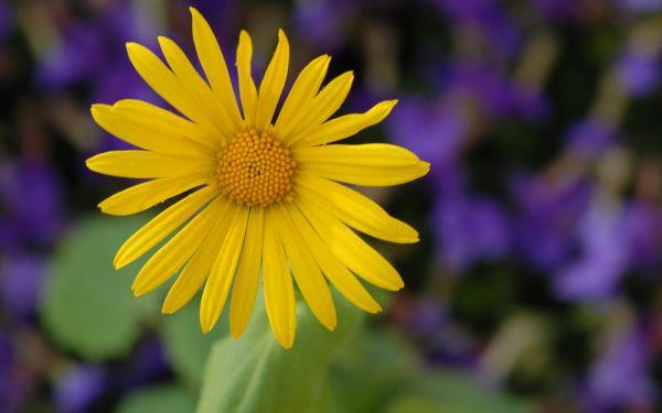 Doronicum orientale Magnificum  Gmswurz