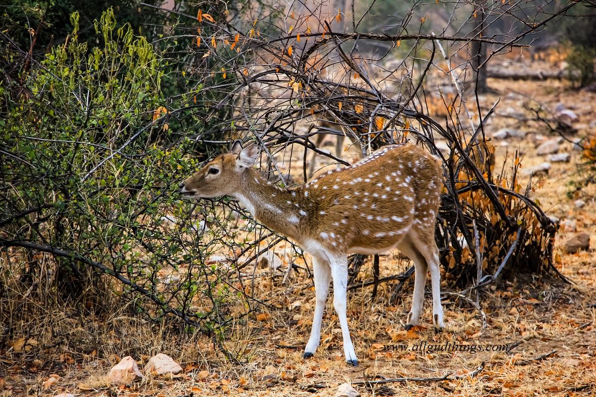 Spotted Deer at Sariska National Park - Sariska Tiger Reserve