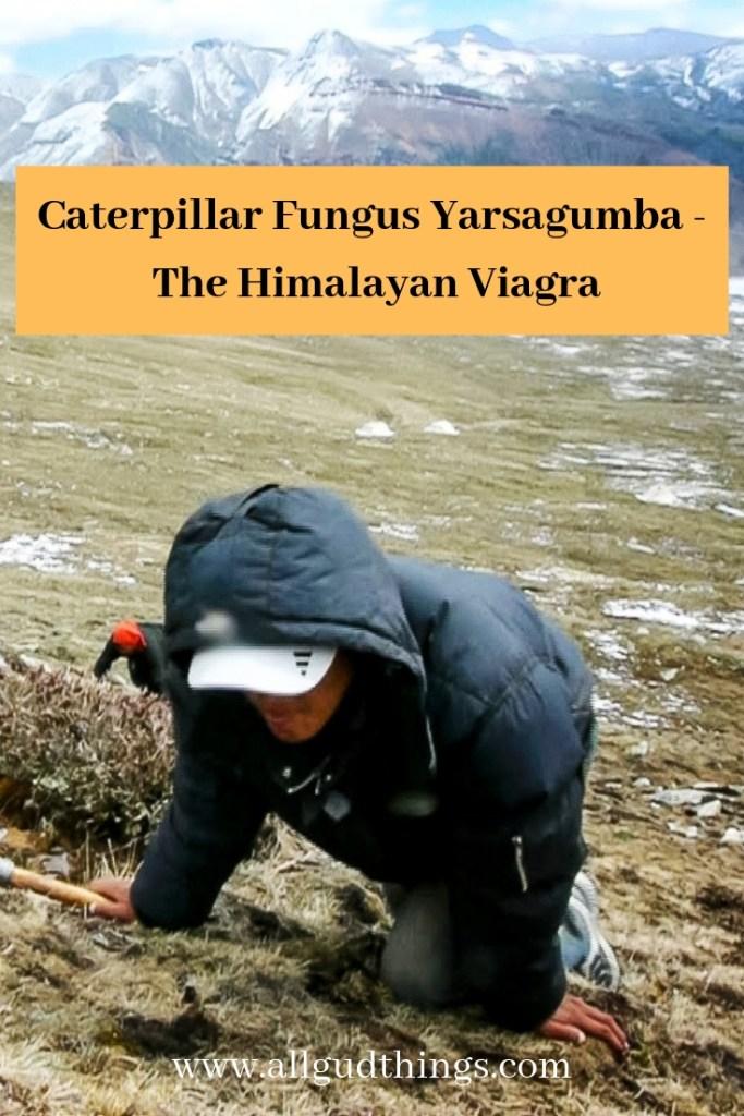 Caterpillar Fungus Yarsagumba