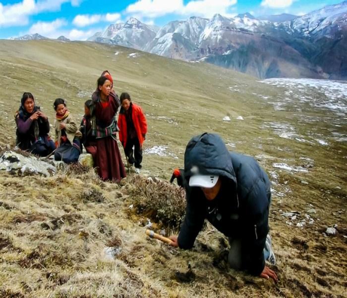 Caterpillar Fungus Yarsagumba- The Himalayan Viagra