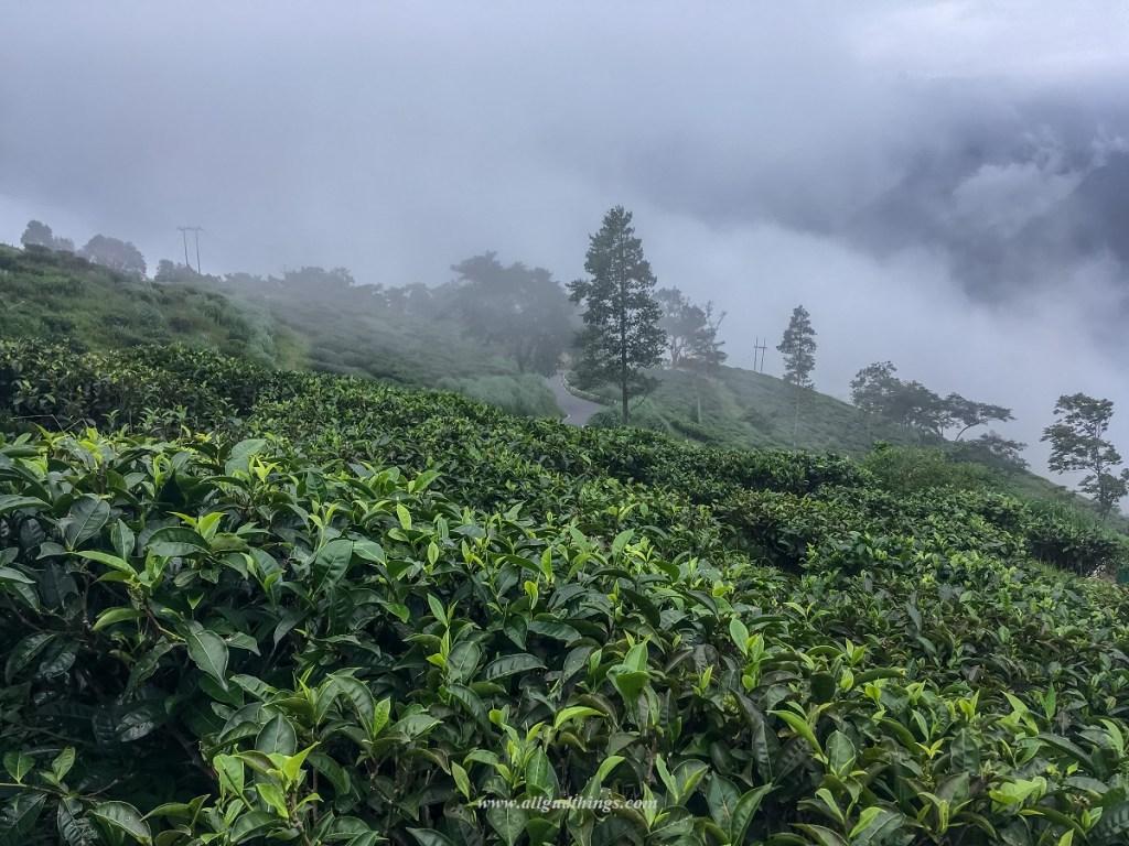 Tea Estates in Darjeeling Sikkim Tour