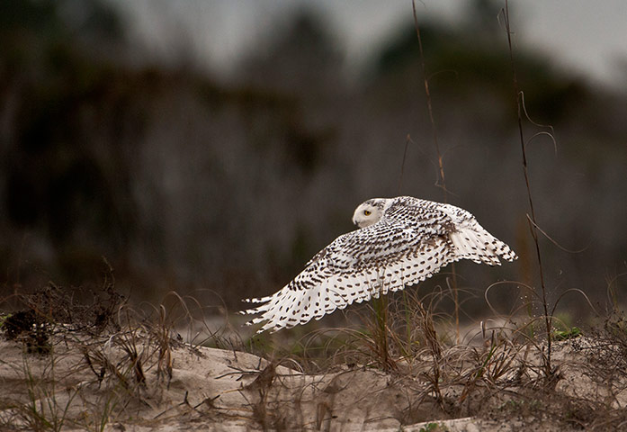 A snowy owl - normally a resident of the Arctic - has been spotted as far south as Florida, US. The coldest air in 20 years surged into large parts of the US this week