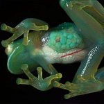 A Glass Frog, whose organs are visible through the skin.