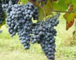The Famed Nebbiolo