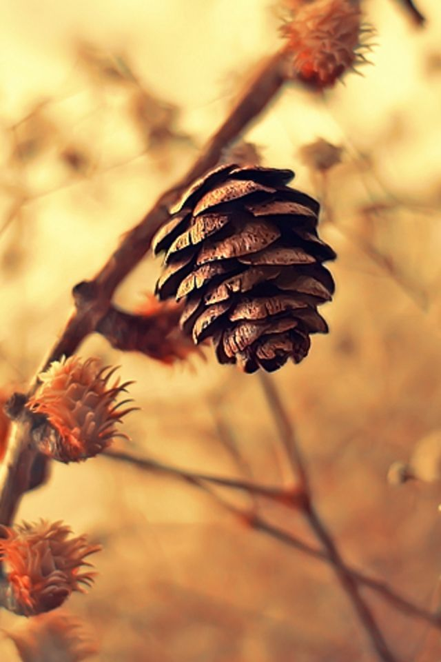 Fall Wallpapers For Iphone 4 Pine Cone Iphone Wallpaper Hd