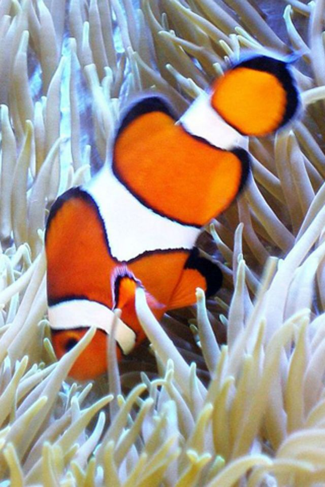 Apple Clownfish Wallpaper Iphone X Clown Fish Iphone Wallpaper Hd