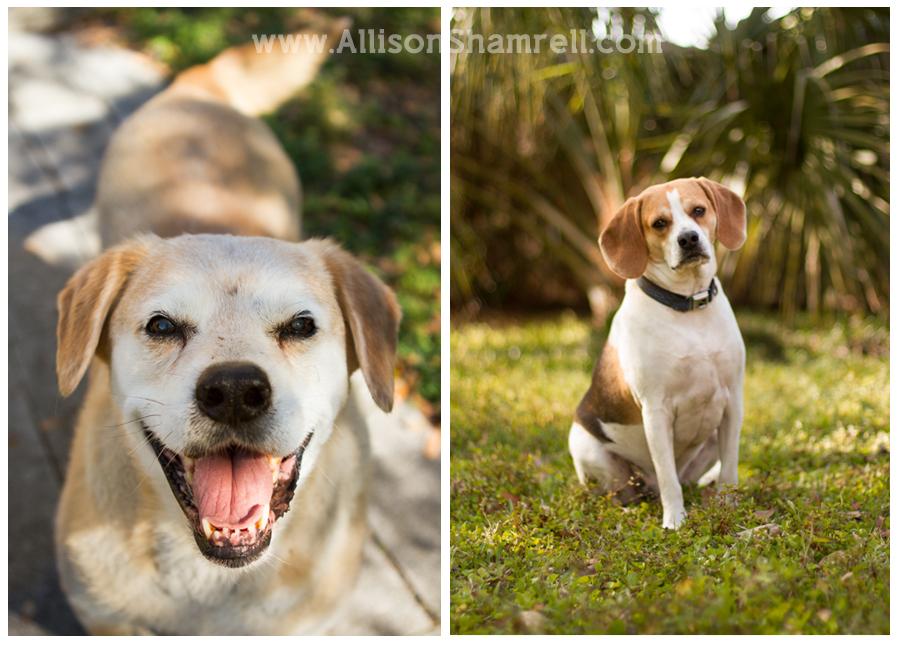 Dog Photography Old Labradors  Young Beagles San Diego Pet Photographer Allison Shamrell  The