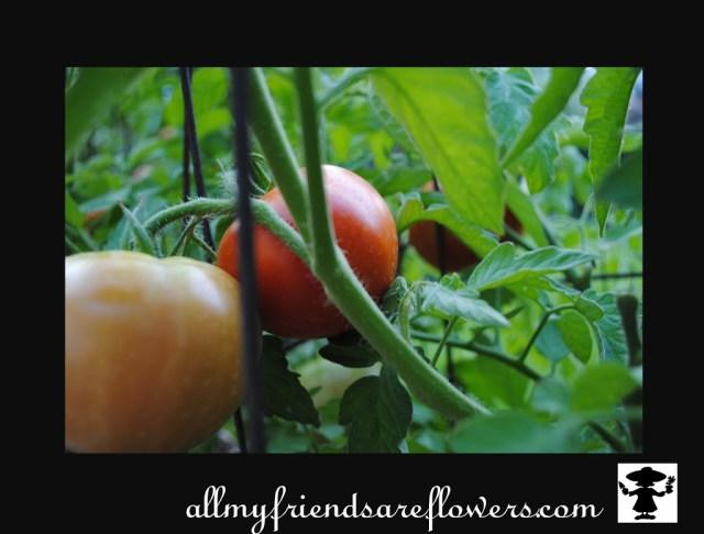 heirloom tomato allmyfriendsareflowers.com