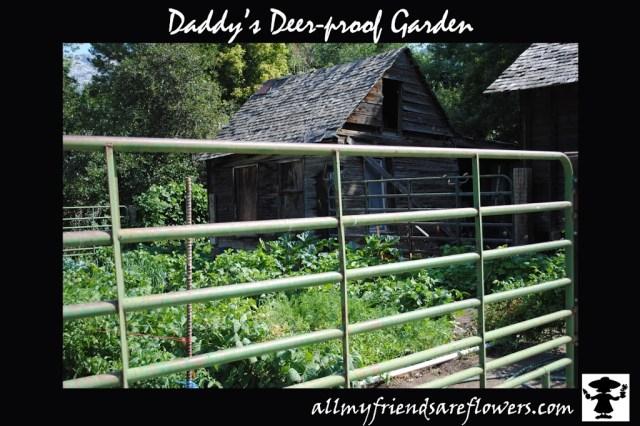 deer-proof gardening, daddy's garden, allmyfriendsareflowers.com