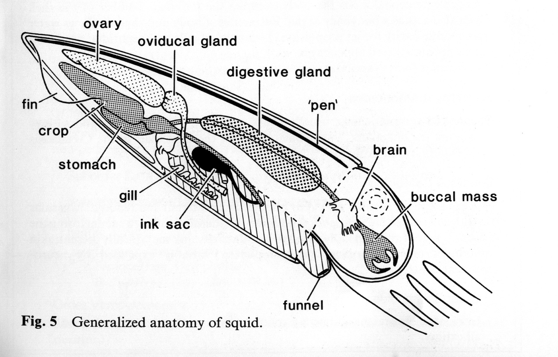 squid internal anatomy diagram 1996 dodge neon radio wiring folter mit sojasoße seite 20 allmystery