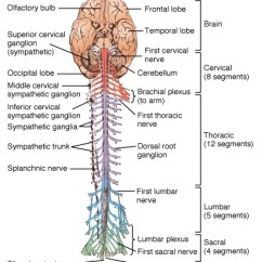 Sympathetic And Parasympathetic Diagram Power Window Relay Wiring Question: Why Is The White Matter In Brain Spinal Cord White? Gray Gray?