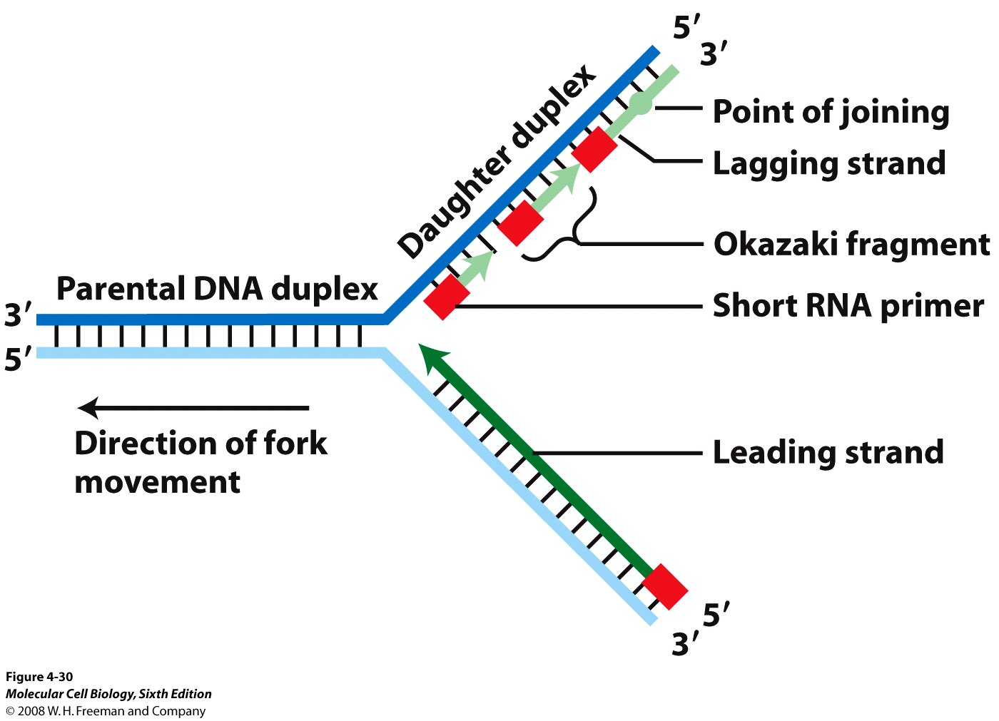 Replication Of Dna Is Semiconservative Fig 4 29a