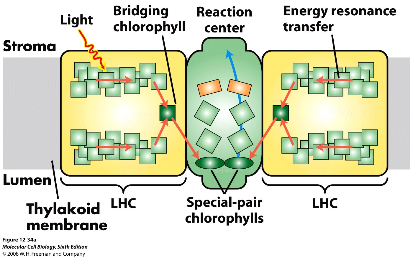 hight resolution of 1 light dependent reactions of photosynthesis occur in the thylakoid membranes of chloroplasts