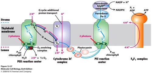 small resolution of 1 light dependent reactions of photosynthesis occur in the thylakoid membranes of chloroplasts