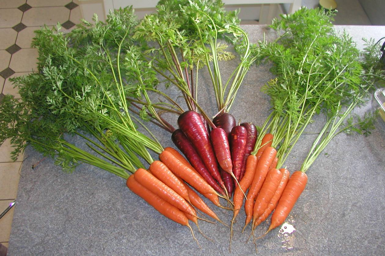 Seed Saving Carrots