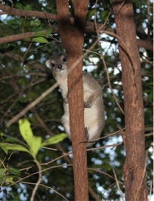 On a family safari in Tanzania, Claire spotted a hyrax perched in a tree.