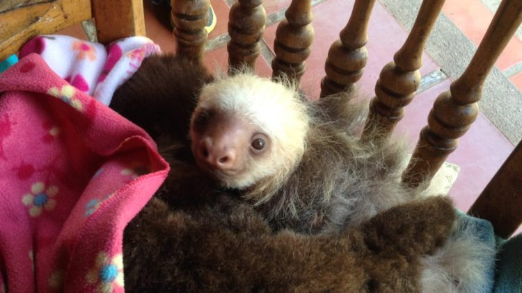 Baby sloths, even ones that have been electrocuted by hanging on wires, are cute!