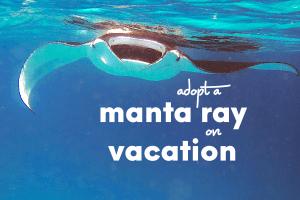 adopt a manta ray on vacation