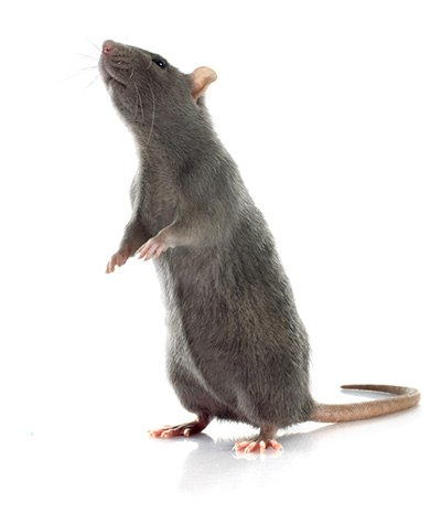 Rat Extermination, Control & Removal Services in Portland