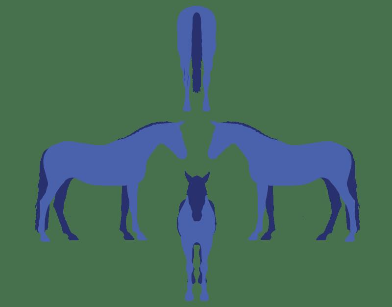 Symmetrical horse conformation