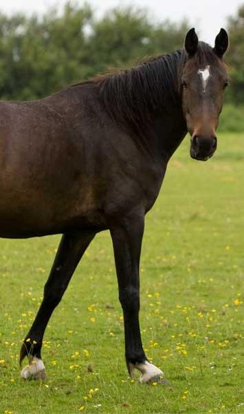 horse front legs