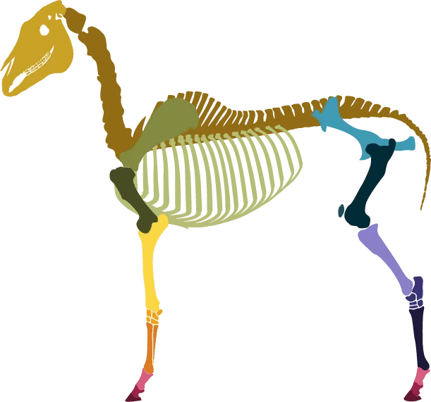 Horse Skeleton Color Coded