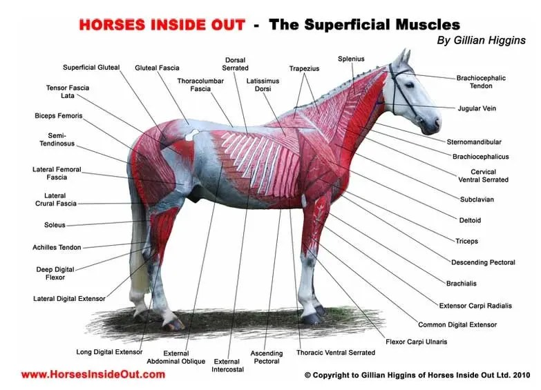 horses inside out muscle