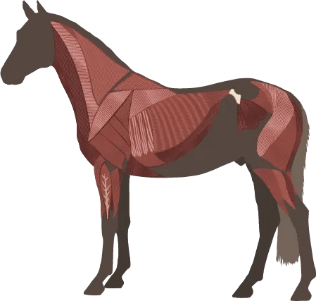 horse muscular system