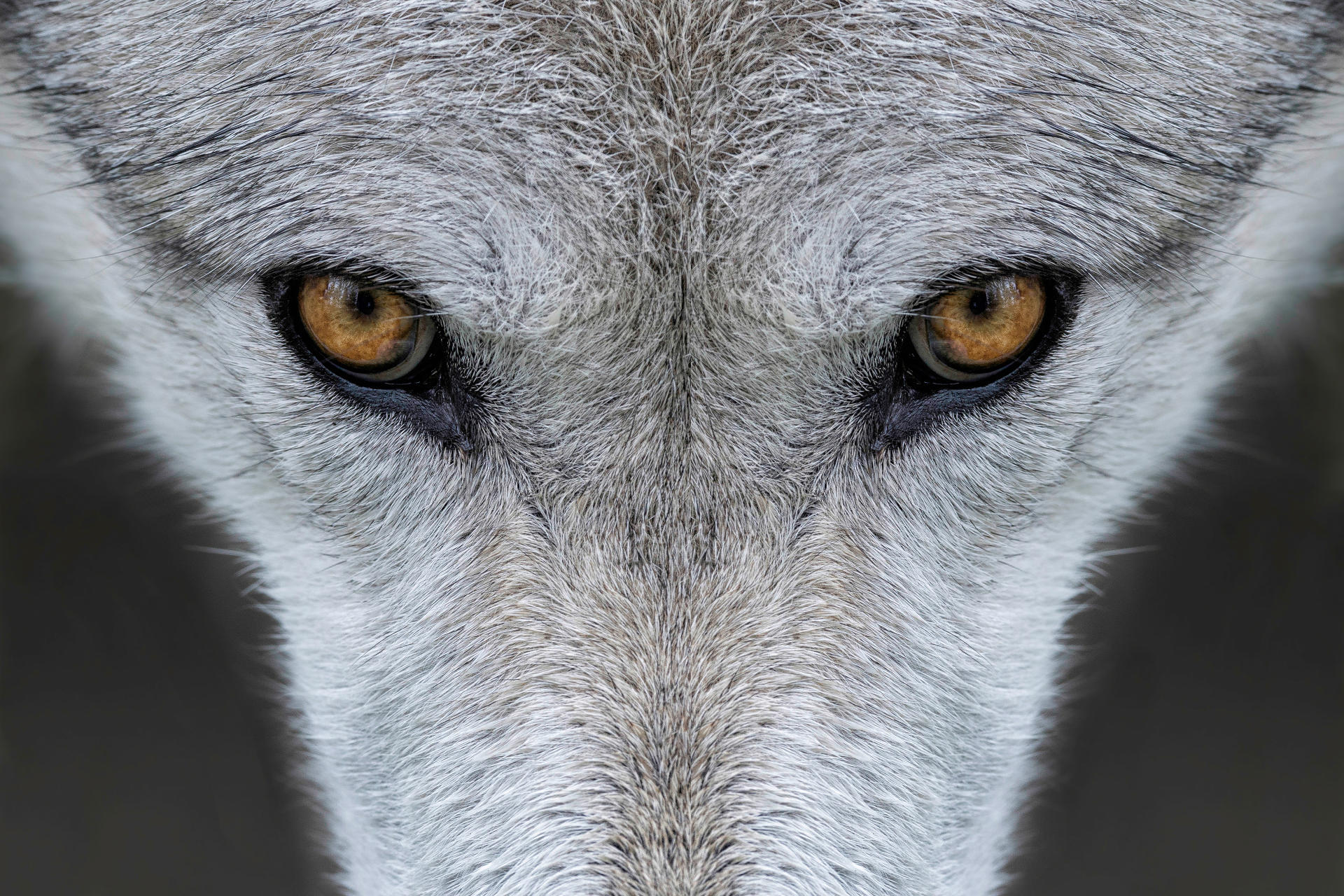 Understand The Debate Around Yellowstone S Wolves