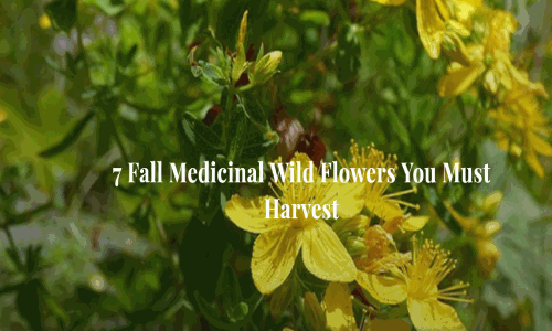 7 fall medicinal wild flowers you must harvest pretty much anywhere you live in the united states with the exception of the most desert areas there are flowers that are rich in medicinal benefits mightylinksfo