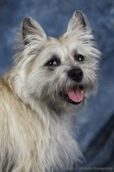 Sophie (Cairn Terrier)